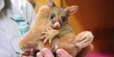 This Orphaned Baby Possum's Best Friend Is a Stuffed Toy Kangaroo