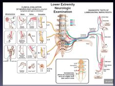 Examen Clinique, Nerve Anatomy, Physical Therapy Student, Spine Health, Medical Anatomy, Human Anatomy And Physiology, Chiropractic Care, Massage Techniques, Nerve Pain