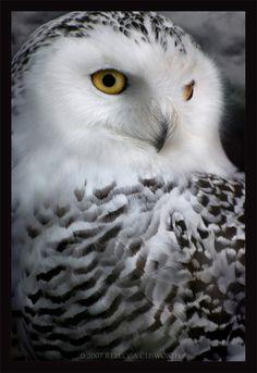 Hedwig! Snowy Owl