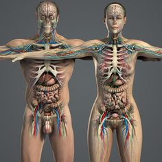 Male and Female Anatomy Essentials Pack (Textured) Model available on Turbo Squid, the world's leading provider of digital models for visualization, films, television, and games. Body Anatomy Organs, Human Body Organs, Human Anatomy And Physiology, Human Anatomy Female, Human Body Diagram, Human Body Facts, Anatomy Models, Medical Anatomy, Muscle Anatomy