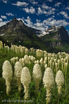 Beautiful Glacier National Park, Montana Bear grass (Xerophyllum tenax) with Mt. Oberlin and Clements Mtn in the background.