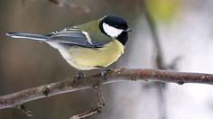 """Talitiainen on suurin tiaisemme, varpusen kokoinen. Se laulaa tavallisimmin """"ti-tyy ti-tyy…"""" tai """"tyy-ti tyy-ti…"""" Blue Jay, Birds, Animals, Animales, Animaux, Bird, Animal, Animais"""