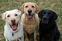 Labrador Trio by Creative Spectrum Photography, via Flickr