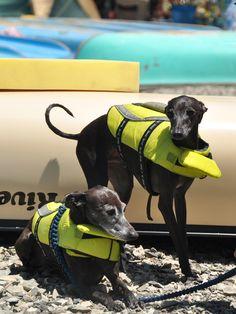 Ume & Ten  #camp #dog #ItalianGreyhound