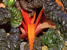 Swiss chard is not native to Switzerland – it takes its moniker from the fact that it was identified and categorized by a Swiss botanist. Paleo Vegetables, Easy Vegetables To Grow, Fresh Vegetables, Growing Swiss Chard, Garlic Health Benefits, Butternut Soup, Lime And Basil, Permaculture Design, Summer Tomato