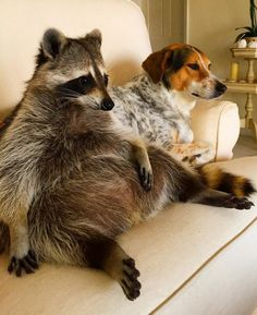 This is Pumpkin, an orphaned raccoon who was rescued by a family with dogs, and now she thinks she is one of them.