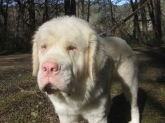 Teddy is an adoptable Saint Bernard St. Bernard Dog in Trail, OR. Teddy: Meet Teddy, an Albino Saint Bernard. He was just two on Valentine's Day and is a love. He is longhaired, with a pink nose and e...