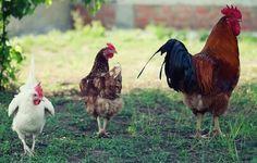 www.chickensforbackyards.com