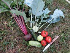 Manque de place au potager ? Je vous montre de quelle manière j'ai réussi à y caser encore pas mal de légumes et comment vous pourrez faire pareil.