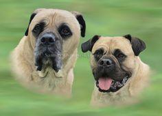 Nero and Sabbie- English Bull Matiffs. Digital Illustration.