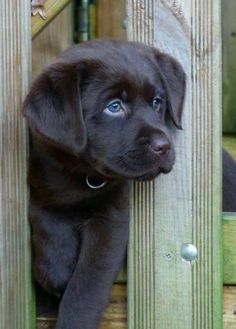 Gorgeous labrador pup with blue eyes