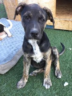 Check out Zeus' profile on AllPaws.com and help him get adopted! Zeus is an adorable Dog that needs a new home. https://www.allpaws.com/adopt-a-dog/shepherd-mix-boxer/6143578?social_ref=pinterest