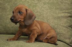 Perro-Mini salchicha