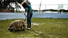 Feeding Jamie aka J' Normous The Sulcata Tortoise Cactus Sulcata Tortoise, Tortoise Care, Tortoise Enclosure, Reptile Habitat, Reptiles, Bald Eagle, Habitats, Pear, Cactus