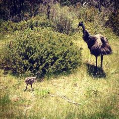This place is better than a zoo. There's enough wildlife around here to sink Noah's Ark!! #Repost @sophiagrove  Mum and bubba emu. So cute!! #snowymountains #crackenback #crackenbackresort #nsw #wow_australia #emu #nature #crackenbackloving #lovejindy #jindabyne #fortheloveofjindabyne #emucuteness #snowymountains #natureszoo