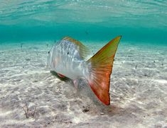 Mutton snapper.  Florida Keys Fishing -  Seatech Marine Products  Daily Watermakers