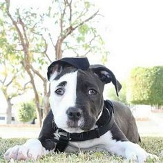 Cute Black And White Pitbull Puppies cutest black and white staffy pup. Cute Baby Animals, Animals And Pets, Funny Animals, Animals Images, Animal Memes, Cute Puppies, Cute Dogs, Dogs And Puppies, Doggies