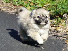 Tibetan Spaniel - Non-Sporting/Companion Dog.