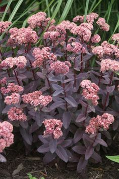 "Sedum 'Purple Emperor'. Short 15"" (Plant 18-24"" apart). Love the purple stems & leaves, but do we need more sedum? $7.95"