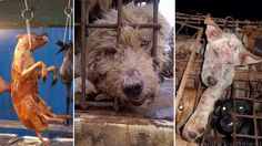 South Korea is eating millions of dogs each year. It has steadily become one of Asia's biggest dog meat consummers and it s...