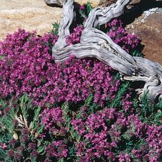Thymus neiceffii | Juniper Leaf Thyme | Low Water Plants, Eco Friendly Landscapes | High Country Gardens