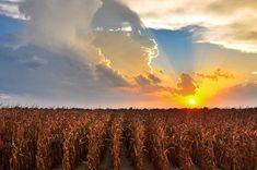 Sunset over a Deer Creek corn field - near Arcola, Mississippi - Mississippi Delta - Order prints from www.flatoutdelta.com -  © 2013 John Montfort Jones