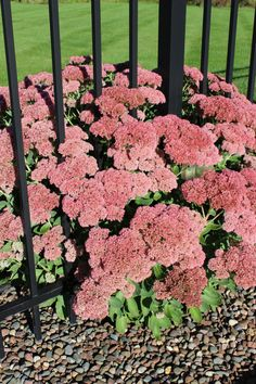 Autumn sedum - one of my favorite plants!