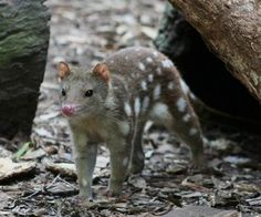 The Tiger Quoll, a carnivorous marsupial native to Australia, had not been seen by humans in more than a decade when someone caught the possum-looking creature outside their laundry room in May last year.