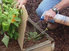 Keeping weeds from crowding your squash crop doesn't have to mean lots of harsh chemicals. Here are some natural, easy solutions from DIYNetwork.com.