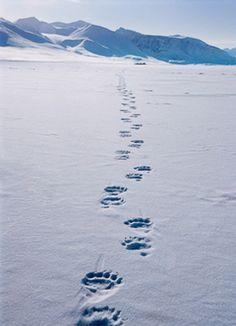 Polar bear tracks across the icy snow ~ Baffin Island, Canada.  Sue Flood