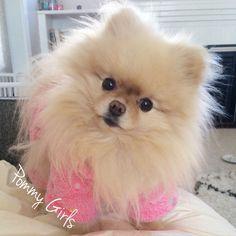 Search Pommy Girls on Facebook!  Sophie the Pomeranian.  Dog, pom, pomeranian, fashion, clothes, pink, fluffy