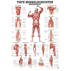 The Muscular System - Deep Layers, Back Laminated Anatomy Chart (Tight Psoas Si Joint)This muscular system chart shows in detail the deep layers of muscle on the front of your body. More specifically, this beautifully illustrated anatomy chart includ Human Body Anatomy, Human Anatomy And Physiology, Anatomy Models, Medical Anatomy, Ab Workout At Home, Boxing Workout, Workout Plans, Massage Techniques, Body Systems