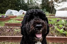 The First Dog, Bo Obama, chills out in the White House Garden.