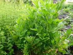 Kalendarium sadzenia ziół - Deccoria.pl Geraniums, Parsley, Garden Art, Spices, Garden, Spice, Yard Art