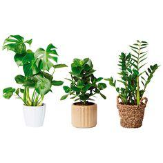 Viherkasvit, -25 %. Suuri valikoima erilaisia viherkasveja.  Plantagen, E-taso
