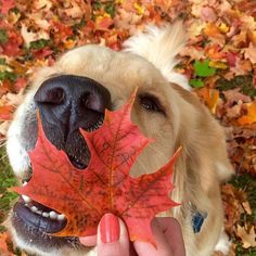 fall is here #welovegoldens by goldenretrievers_