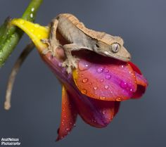 Crested gecko on a flower