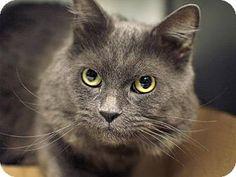 1/3/15 New york, NY - Maine Coon. Meet Jack-SUPER SWEET, a cat for adoption. http://www.adoptapet.com/pet/12189712-new-york-new-york-cat