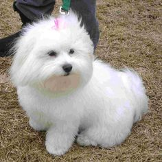 Daisy the #CotondeTulear. The Coton de Tulear was developed on the island of Madagascar off the coast of southeast Africa, and is still the island's national dog. From Atlanta/Athens DogWatch Customer Photo Gallery.