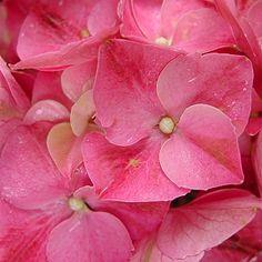 Bright Pink Big Leaf Hydrangea #hydrangeamacrophylla #hydrangea