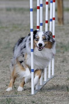 Australian Shepherd - running the weave poles on the agility course