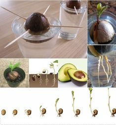 Image result for how to grow avocado