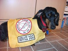 FIRST EVER Dachshund in the history of Ontario & Canada (combined) to become a Trained Medical Service Dog!!  (HATES getting her picture taken!)