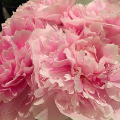 My June Blooms Peonies.