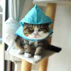 Maru: the only cat that likes to wear a poncho when it's raining outside.