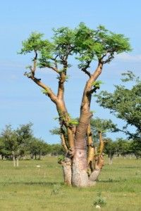 Moringa tree in Etosha, Namibia - photo by Karelgallas, via Dreamstime; Moringa stenopetala is a species of tree in the Moringa family of flowering plants known mainly as an important nutritious vegetable tree. Moringa Leaves, Desert Trees, Miracle Tree, Moringa Powder, Landscaping Images, Photo Tree, Growing Tree, Growing Plants, Moringa Oleifera