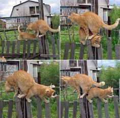 Two Cats On A One Lane Fence