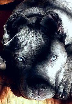 #cane #corso #cane corso