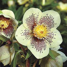 helleborus winter jewels: Winter Jewels® Golden Sunrise Lenten Rose