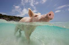 Pig Island / Big Major Cay, Bahamas: Wo die glücklichsten Schweine der Welt leben